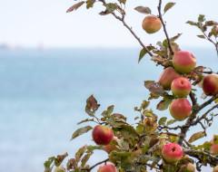Les pommes de la baie de Paimpol, une histoire à croquer