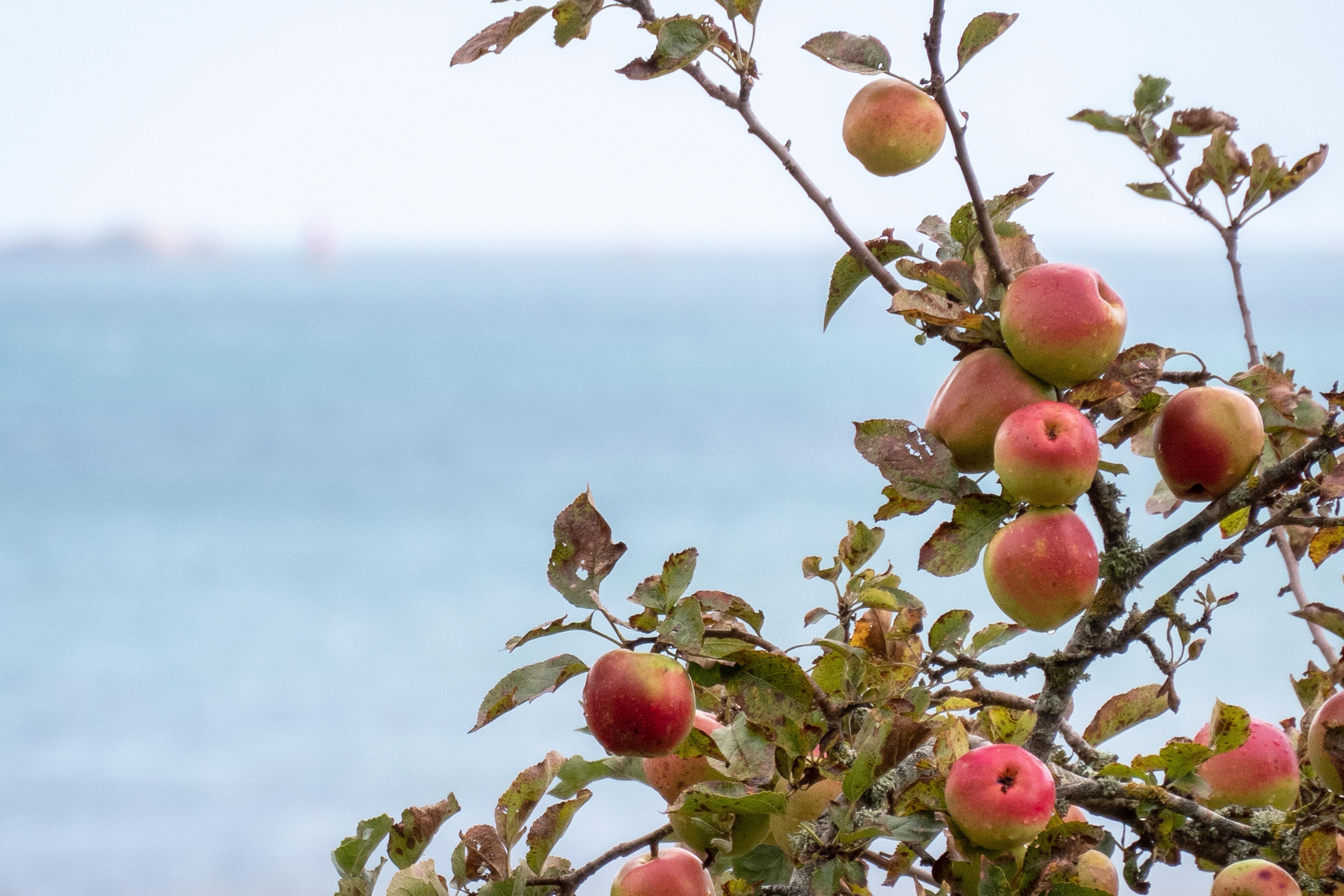 Pommes Beauport 1